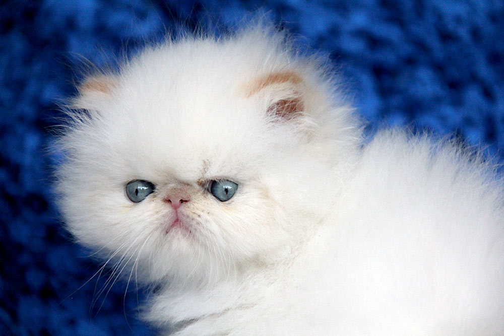 Persian Kittens For Sale Cpc Elh In Cfa Year 2017